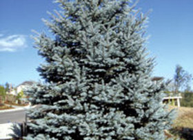 Spruce Fat Albert (Picea pungens 'Fat Alber')
