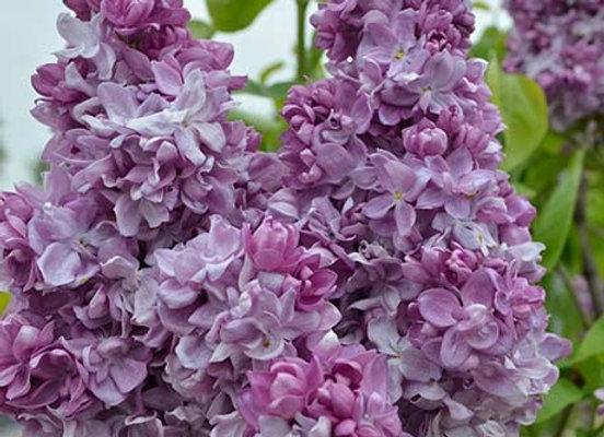 Lilac, Katherine Havemeyer (Syringa vulgaris 'Katherine Havemeyer')