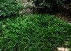 Juniper, Buffalo (Juniperus sabina 'Buffalo')