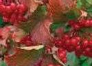 Viburnum Bailey Compact (American Cranberrybush)