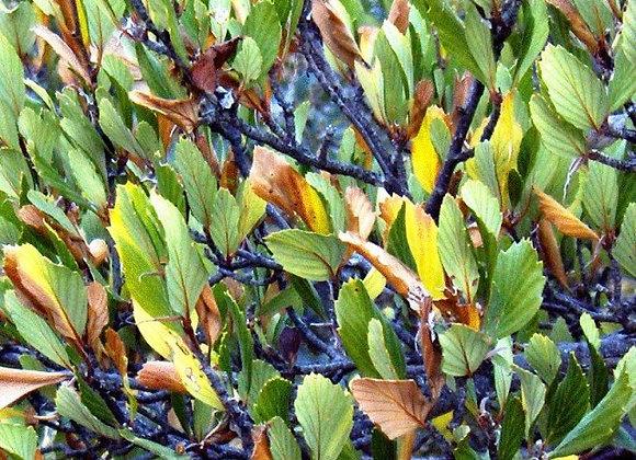 Mountain Mahogany (Cercocarpus montanus)