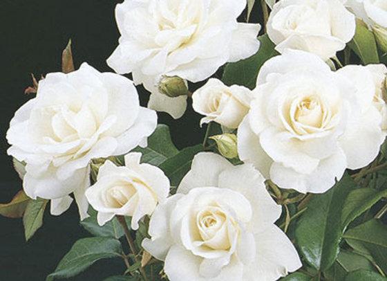 Rose, Icberg (Floribunda)