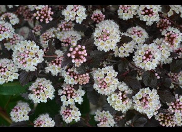 Ninebark Tiny Wine (Physocarpus oulifolius 'SMPOTW'