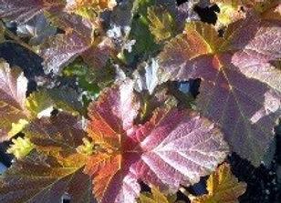 """Ninebark Amber Jubilee (Physocarpus oulifolius 'Jefam"""""""