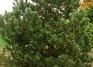 Pine, Mugo La Cabana(Pinus mugo 'La Cabana')