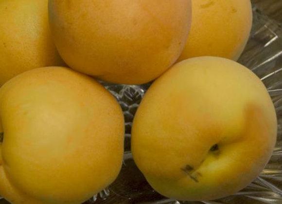 Apricot Debbie's gold