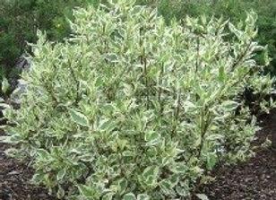 Dogwood, Ivory Halo (Cornus alba 'Bailhalo')