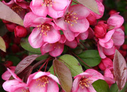 Crabapple, Candymint (Malus sargenti 'Candymint'