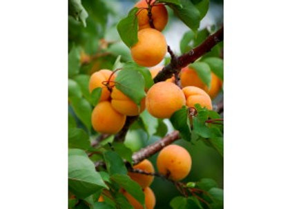 Apricot Pioneer