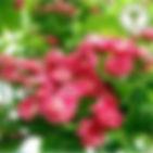 Hawthorn, Paul's Scarlet.jpg
