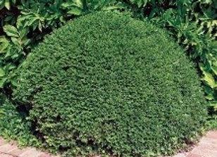 Boxwood, Green Velvet (Buxus x 'Green Velvet')
