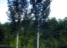 Linden, True North American (Tillia americana 'Duros')