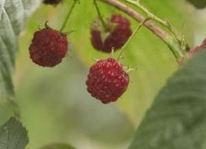 Raspberry Souris