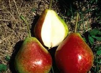 Pear Summercrisp