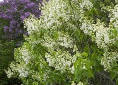 Lilac, Primrose  (Syringa xvulgaris 'Primrose')