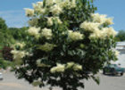 Lilac, Snowdance (Syringa reticulate 'Bailnce')