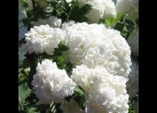 Viburnum, Snowball Tree Form  (Viburnun opulus 'Roseum')