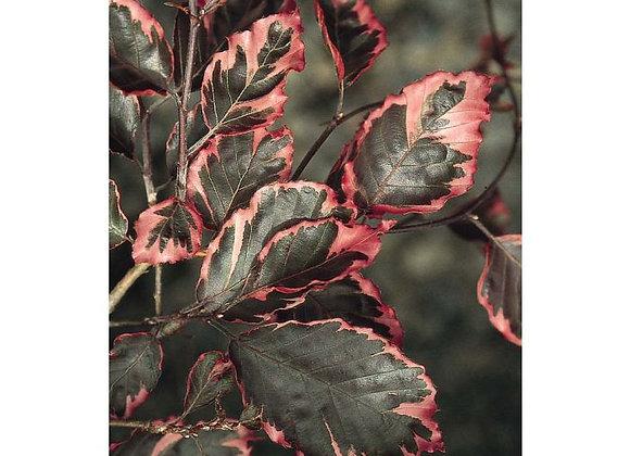 Beech, Tricolor (Fagus sylvatica)