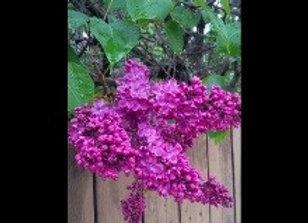 Lilac, Pocahontas (Syringa x hyacenthiflora)