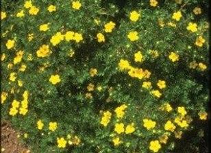 Potentilla Goldfinger (Potentilla fruticosa 'Goldfinger')