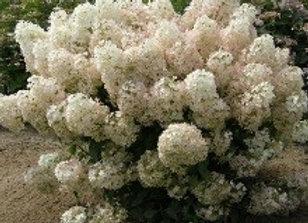 Hydrangea,  BOBO  (Hydrangea paniculata ' ILVOBO')