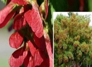 Maple, Hot Wings (Acert tataricum 'Garann')