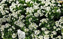 Alyssum, Easter Bonnet White.jpg