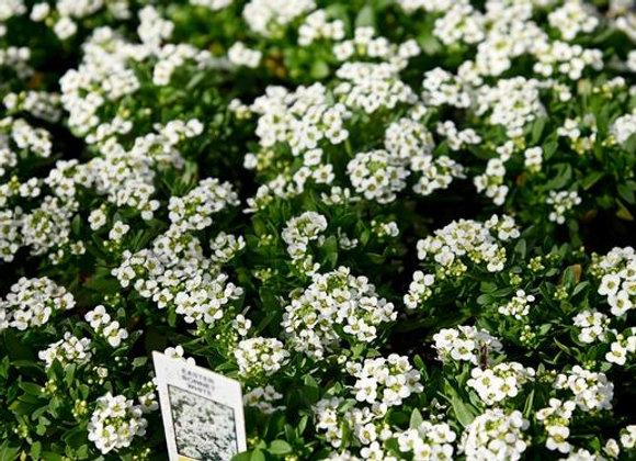 Alyssum, Easter Bonnet White