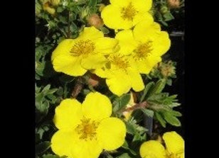 Potentilla Goldfstar  (Potentilla fruticosa 'Goldstar')