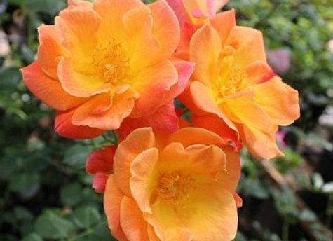 Rose, Joseph's Coat (climber)