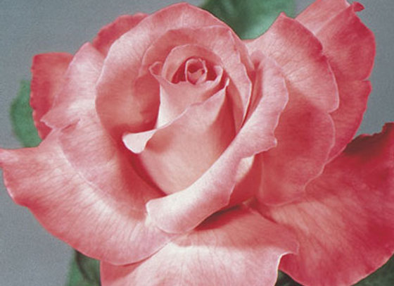 Rose Touch of Class (Hybrid Tea)