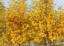 Ash, Mancana (Fraxinus mandshrica 'Mancana'