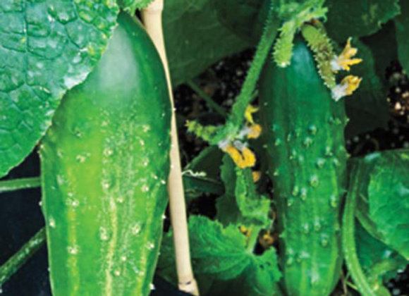 Cucumber, Patio Snacker