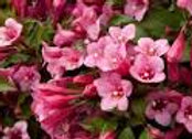 Weigel, Minuet (Weigela florida 'Minuet')