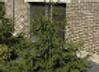 Spruce Norwa Acrocona