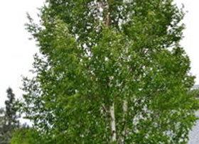 Birch Paper - Betula papyrifera