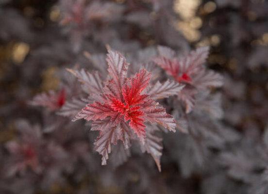 Ninebark, Fireside (Physocarpus Opulifolius 'Umnharpell'