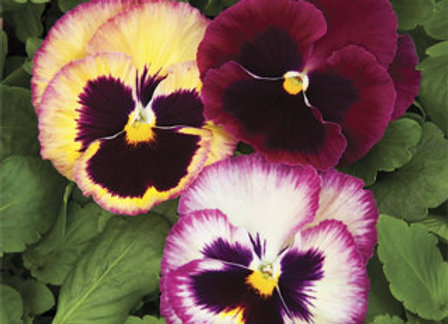 Pansy, Colossus Rose Medley
