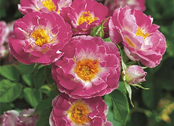 Rose, Cupid's Kiss (Climber)
