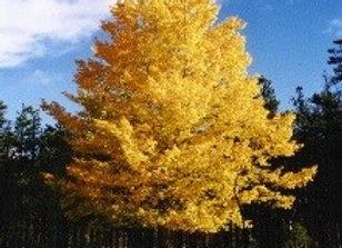 Aspen, Quaking - Clump (Populus tremuloides)