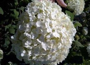 Hydrangea, Incrediball (Hydrangea maculata 'PHIH-II'')