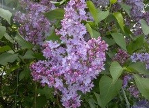 Lilac, Common Purple (Syringa vulgaris)