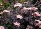 Elderberry, Black Lace (Sambucus nigra 'Eva')