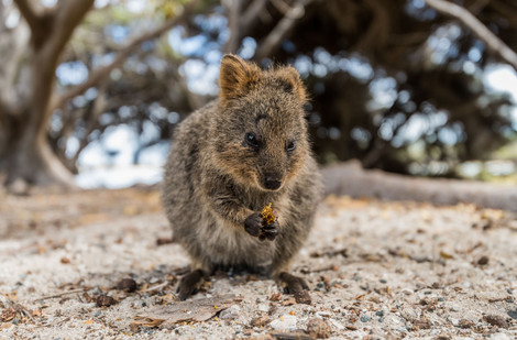 Discover Western Australia's pride and joy: Rottnest Island and its cute quokkas - South China Morning Post