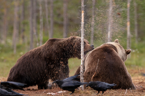 Bear necessities - Get Lost