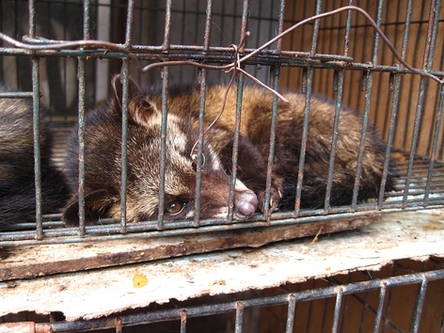 Kopi Luwak: The Asian Palm Civets Dying For A Coffee