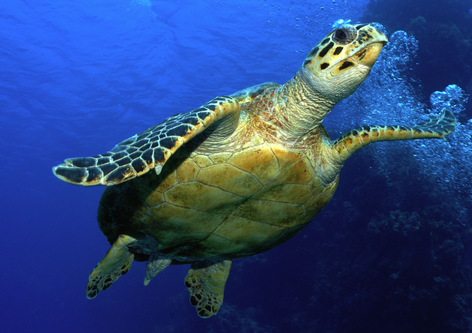 Weathering The Storm: How Turtles are Eschewing Extinction