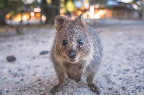 The Australian island where quokkas demand a photo - Travel + Leisure Southeast Asia