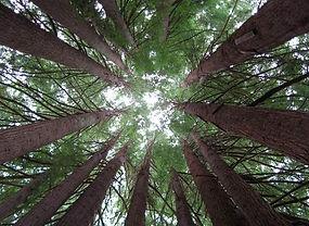 mother+trees.jpg