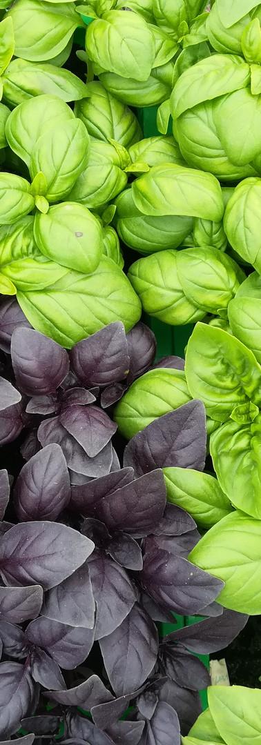 Basilic vert et pourpre